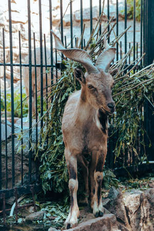 A young mountain goat in an enclosure in the city zoo. Moscow, Russia, July 2020.