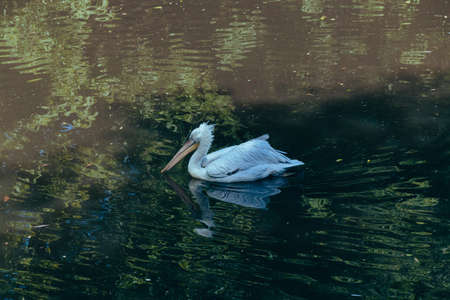 A white Pelican swimming in a pond at the city zoo. Moscow, Russia, July 2020.