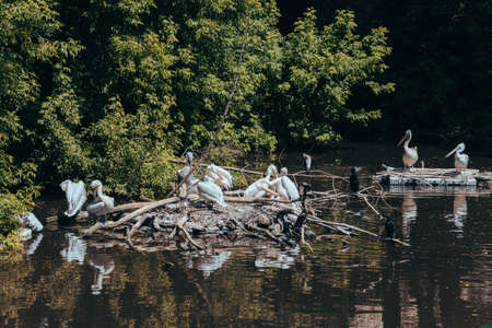 A flock of white pelicans sitting on Islands of twigs in a pond in the city zoo. Moscow, Russia, July 2020. Editorial