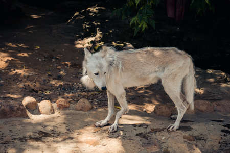 Old skinny wild white wolf in an enclosure in the city zoo. Moscow, Russia, July 2020.