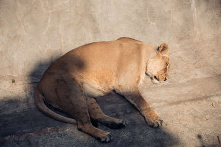 A lioness sleeping on a concrete slab in an enclosure at the city zoo. Moscow, Russia, July 2020.