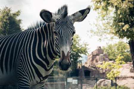 Close-up of a Zebra looking into the camera lens in an enclosure in the city zoo. Moscow, Russia, July 2020.