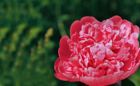 Pink peony in the garden. Blooming pink peony. Close-up of a beautiful pink peony flower. layout of a floral greeting card. happy mother's Day concept. pink flowers, flower image.