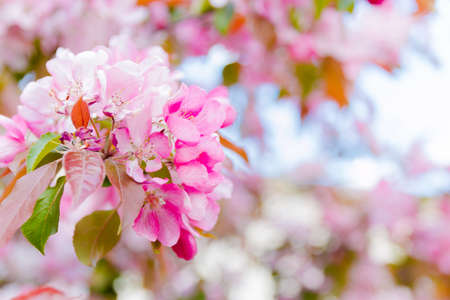 Bright blossoming pink flowers apple tree, season of blooming. Selective focus.