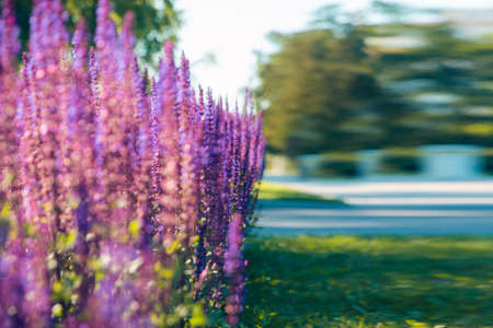 Bright lavender bushes close-up against the blue sky. Blooming lavender in the city Park. Foto de archivo