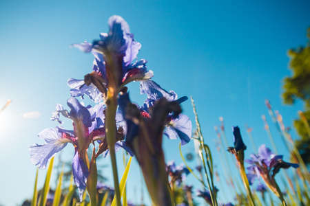 Bottom view of bright iris flowers in close-up against the blue sky. Close-up of iris flowers. Blooming irises, Selective focus.