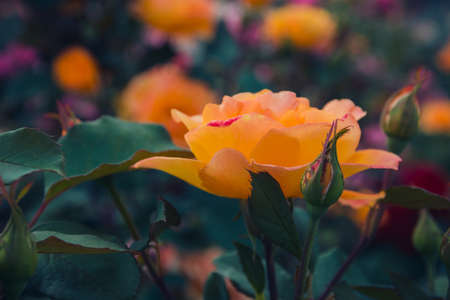 Magnificent bushes of blooming orange roses. Selective focus.