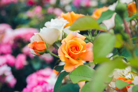 Rosary. Magnificent bushes of blooming orange roses. Selective focus. Foto de archivo