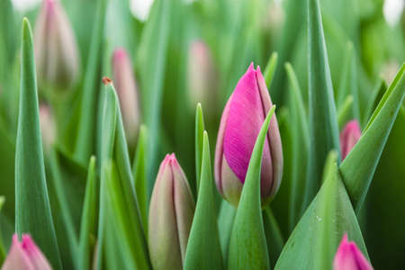 Pink ulips, flowers, greenhouse. Beautiful tulips blooming in the greenhouse. Floral background 版權商用圖片