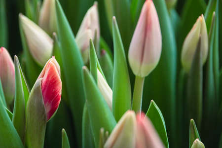 Bouquet of pink tulips close-up, a beautiful bouquet of tulips on the background of nature. Spring landscape. Floral background 版權商用圖片