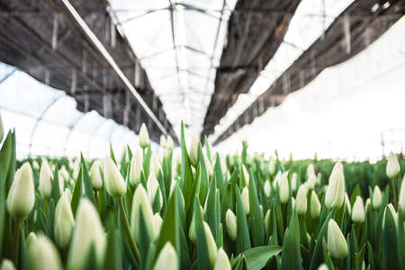 White tulips, flowers, greenhouse. Beautiful tulips blooming in the greenhouse. Floral background