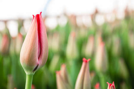 Pink tulips, flowers, greenhouse. Beautiful tulips blooming in the greenhouse. Floral background