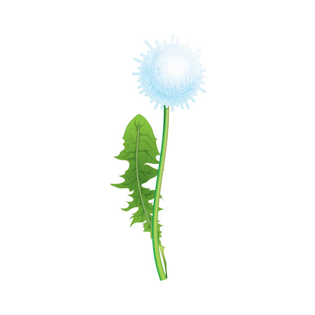 Fluffy white dandelion with leaf. Stock vector illustration drawn in cartoon style.