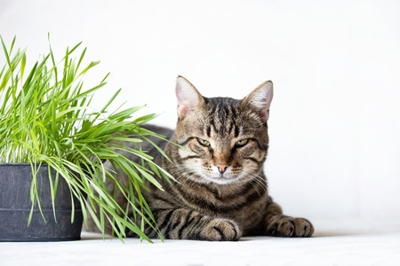 Tabby caTabby cat lies near the fresh green grass. Cat grass. Useful food for animals. On a white background