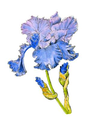 Stock image. Blue and purple iris flowers in bloom with buds isolated close up on white background. Foto de archivo
