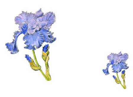 Watercolor hand drawn botanical sketch. Blue and purple iris flowers in bloom with buds isolated close up on white background.