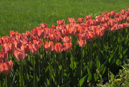 range of colors of tulips