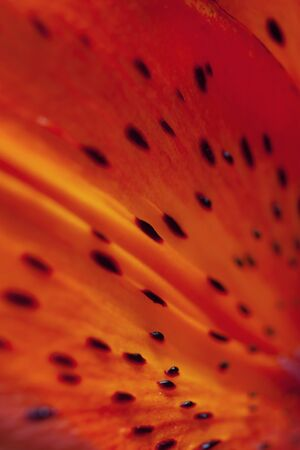 Bright orange macro lily flower petal with dots