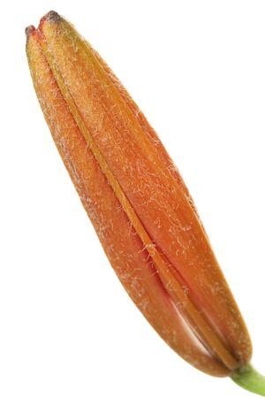 Bright orange lily  flower closed bud macro isolated on white background