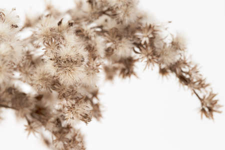 Dry fluffy star shape little romantic flowers branch with vintage effect on light background macro