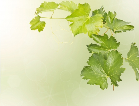 vine leaf: grape vine isolated on blur background