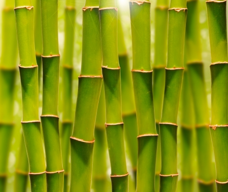 bamboo background: Green bamboo grove bathed in sunshine