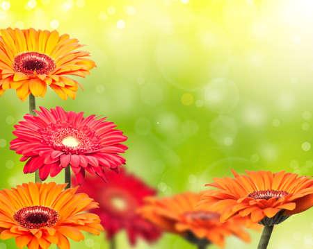 beautiful colored gerbera on green blurred background photo