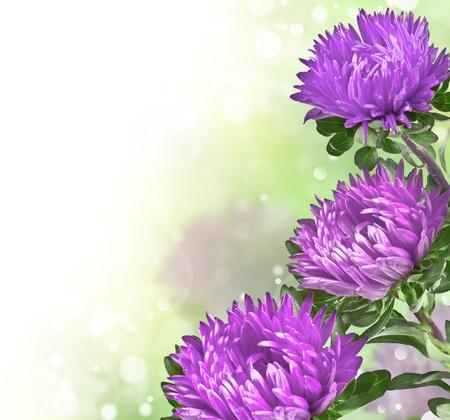 beautiful purple chrysanthemums on blurred background bokeh