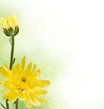 two yellow chrysanthemums on a blurred background Stock Photo - 15507814