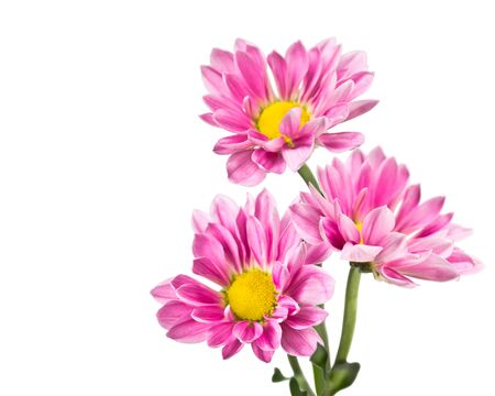 Three pink chrysanthemum flowers isolated on white background