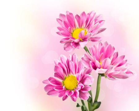 Three pink chrysanthemum flowers  on blurred background