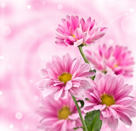Pink chrysanthemum flowers  on blurred background Фото со стока