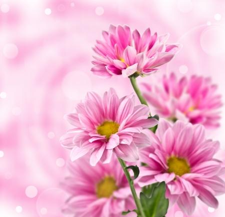 Pink chrysanthemum flowers  on blurred background Stock Photo