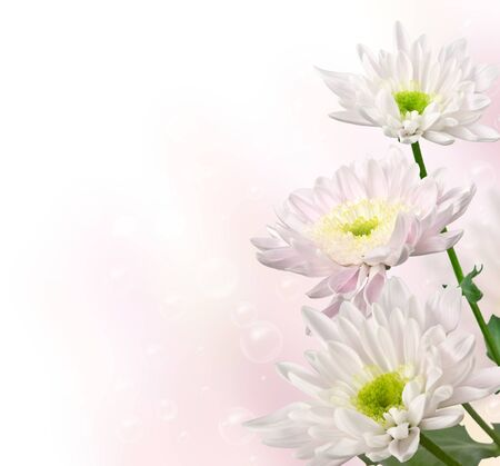 blooming light pink chrysanthemums on a blurred background