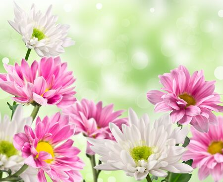 white and pink blooming chrysanthemum flowers with a blurred background photo