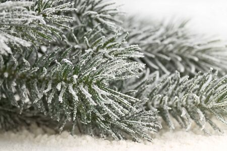 snowcovered: snow-covered fir branches on the powder snow