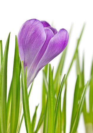 Beautiful blooming spring crocus flower lilac color photo