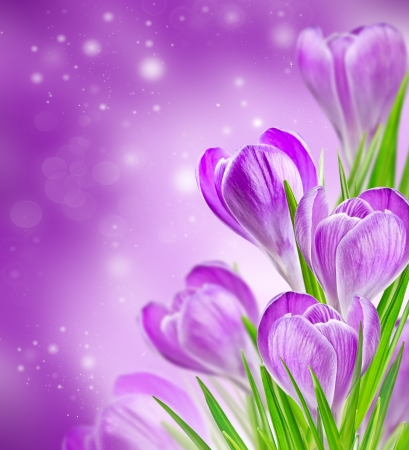 spring crocus flowers on a soft background bokeh photo