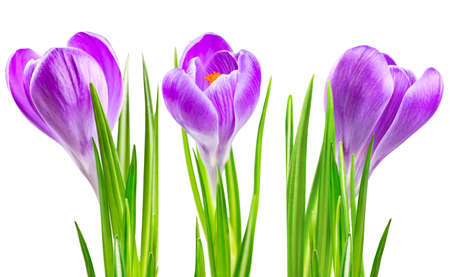 Beautiful blooming spring crocus flower lilac color Stock Photo - 17441985