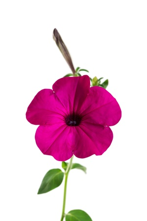 Flower blooming petunia isolated on white background Stock Photo