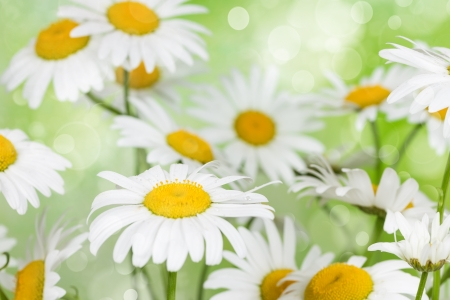 Blooming camomile flowers on a background bokeh Stock Photo