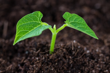 The soil with a small bean sprouts Stock Photo - 25236536