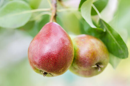 Ripe pears on a tree outdoors  photo