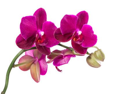 orchidee: Filiale viola orchidea isolato su sfondo bianco