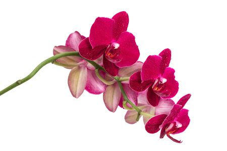 Orchid flower red color isolated on white background photo