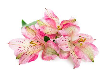 alstroemeria: Blooming Alstroemeria flower isolated on white background