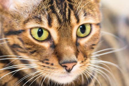 eye red: Portrait of cat brown mackerel tabby color, close-up. Shallow depth of field. Stock Photo