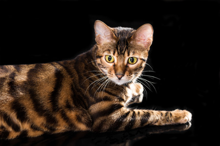 Cat breed toyger isolated on black background
