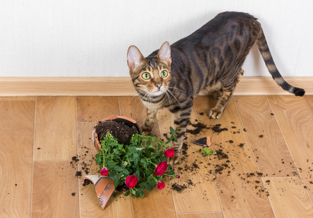 Domestic cat breed toyger dropped and broke flower pot with red roses and looks guilty. Concept of damage from pets. Stock Photo