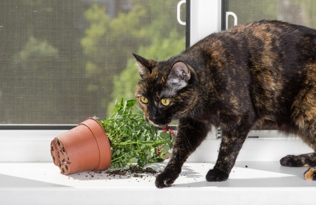 Domestic cat tortoiseshell color dropped the flower pot on the windowsill.